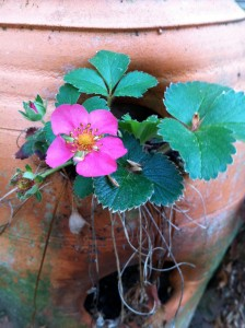 Pink-flowering strawberry plants are easy to grow (Photo Credit: Adroit Ideals)