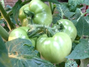 Tomatoes growing on the vine in a large pot on my back deck (Photo Credit: Adroit Ideals)