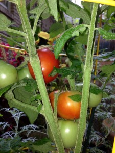 Tomatoes ripening on the vine in my garden (Photo Credit: Adroit Ideals)