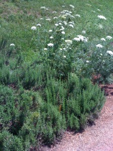 The rosemary patch in the Kitchen Garden at Thomas Jefferson's Monticello (Photo Credit: Adroit Ideals)