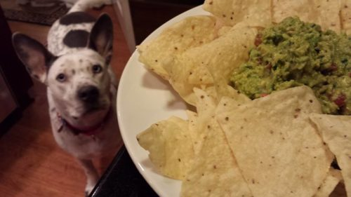 Even my dog Atticus loves guacamole and chips! (Photo Credit: Adroit Ideals)