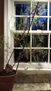 My favorite rosemary plant spends winters on my sunny kitchen counter.  (Photo Credit: Adroit Ideals)