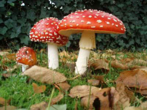 Don't eat these poisonous mushrooms! (Photo Credit: foodpoisoningsignsinfo.com)