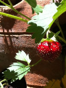 A ripe strawberry on a vine in my back garden (Photo Credit: Adroit Ideals)