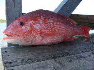 Red Snapper (Photo Courtesy Wikipedia.org)