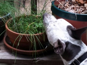 Our dog, Atticus, likes to sniff our herbs including my pot of chives.  He does not like to eat them though! (Photo Credit: Adroit Ideals)