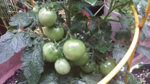 Cherry Tomatoes in my Potted Kitchen Garden (Photo Credit: Adroit Ideals)