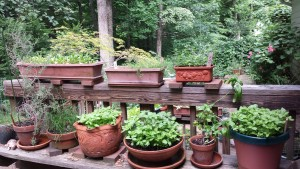 My potted kitchen garden on my back deck (Photo Credit: Adroit Ideals)